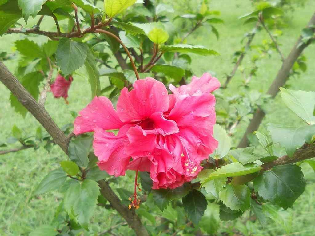hibiscus-garden-2